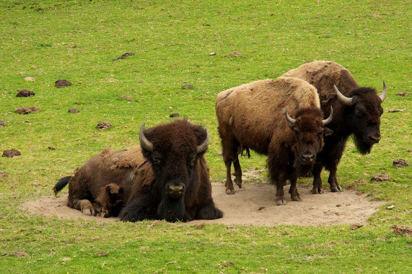 Stati Uniti, Obama ha eletto il bisonte come mammifero nazionale