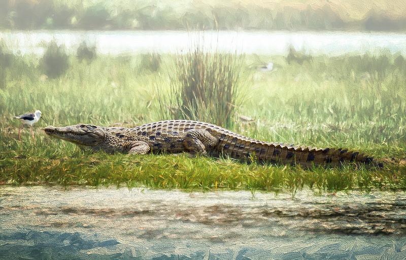 Coccodrilli o alligatori? Chi sono i più cattivi e pericolosi