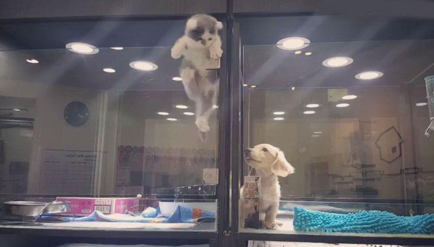 Gattino in fuga d'amore per raggiungere il suo amico