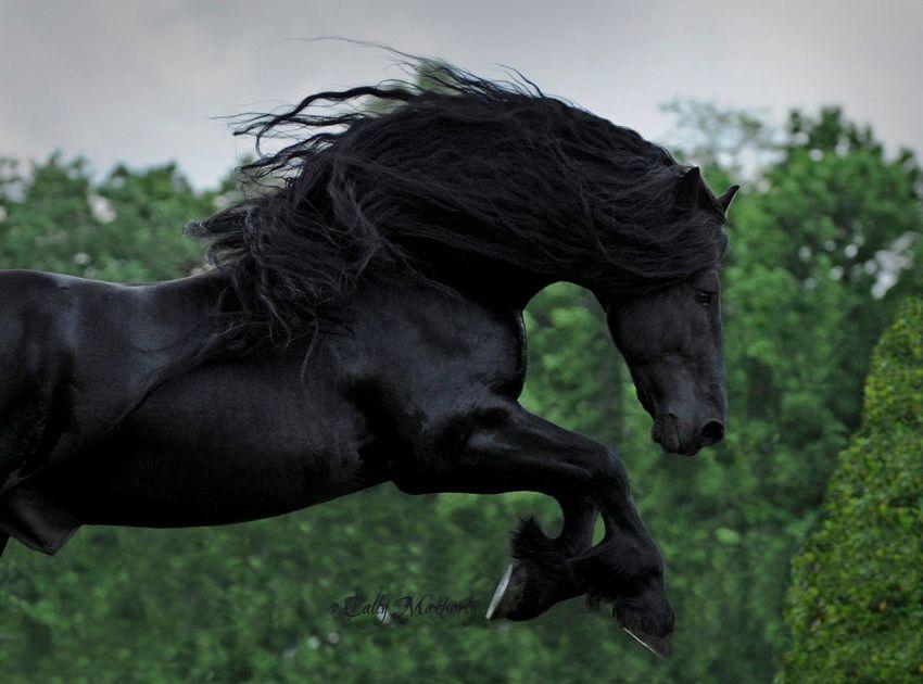 Frederik il Grande è il cavallo più bello del mondo