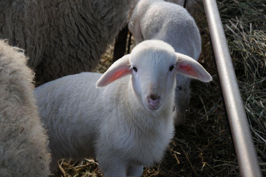 Che differenza c'è tra agnello e abbacchio