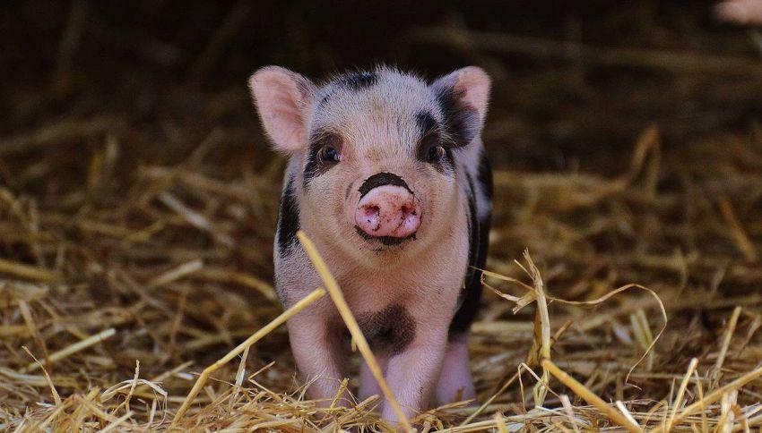 Il maiale che fa i puzzle e altri animali incredibili