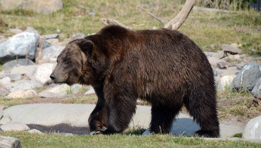 Alaska, orso curioso finisce con la testa in scatola