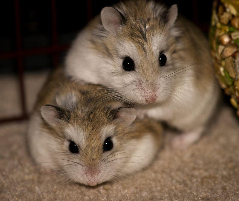 L'Associazione Italiana Criceti promuove e difende i piccoli animali