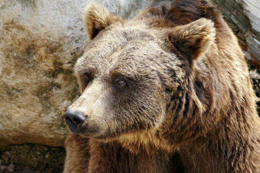 Orso grizzly attacca una donna mentre corre la maratona