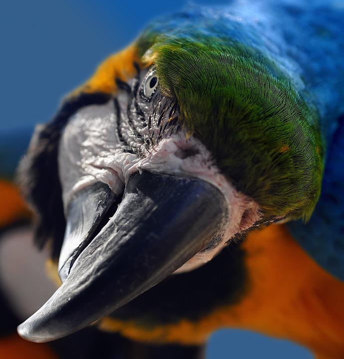 Gli uccelli più rumorosi al mondo con cui convivere