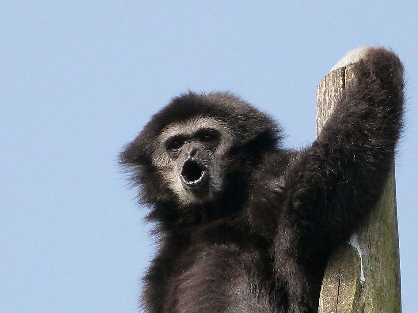Animali strani in Cina: il Gibbone dell'isola di Hainan