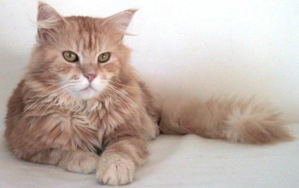 Ecco i gatti rossi più belli: dal Maine Coon al siberiano