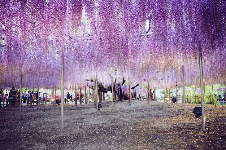 Questo è senza dubbio l'albero centenario più bello del mondo