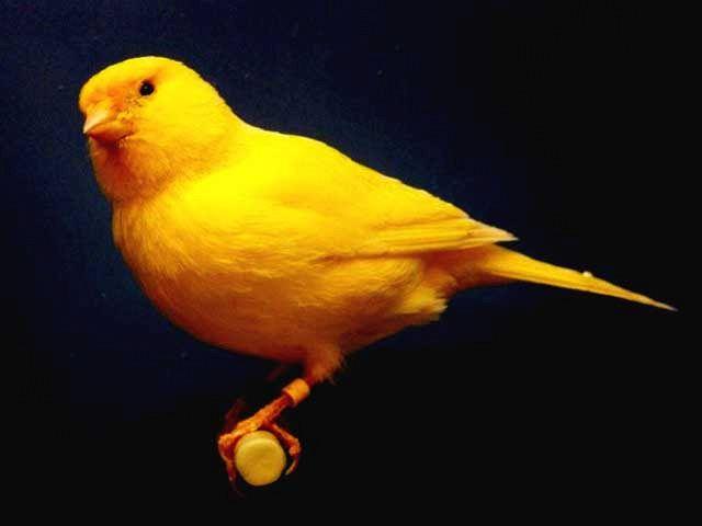 I canarini più simpatici del pianeta? Non solo gialli
