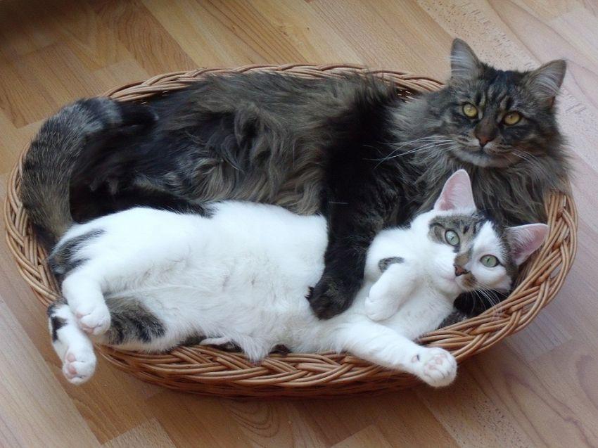 Gatti prima e dopo, come cambiano da cuccioli ad adulti