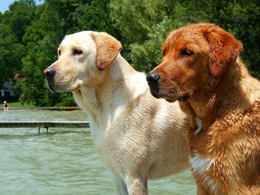 Che differenza c'è tra labrador e golden retriever nel mondo animale