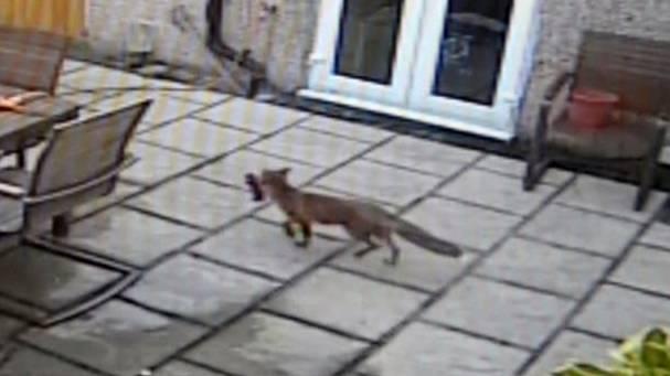 Come si riconosce una volpe urbana? Vuole giocare con la PlayStation