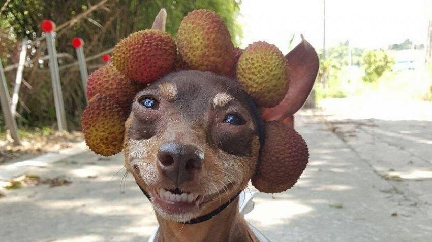 Il cane taiwanese fa da modello per la frutta e verdura del suo padrone