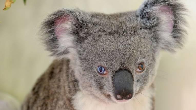 Il koala Bowie ha un occhio azzurro e uno marrone ed è la nuova star del web