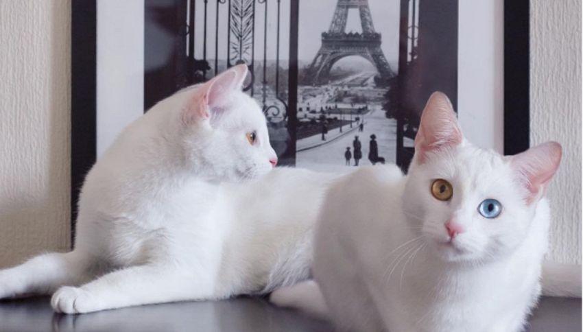 Iriss and Abyss: i gatti gemelli