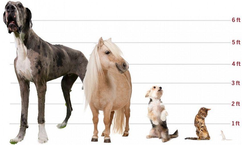Rocco è il cane più alto del mondo, pesa 76 chili e dorme 22 ore al giorno