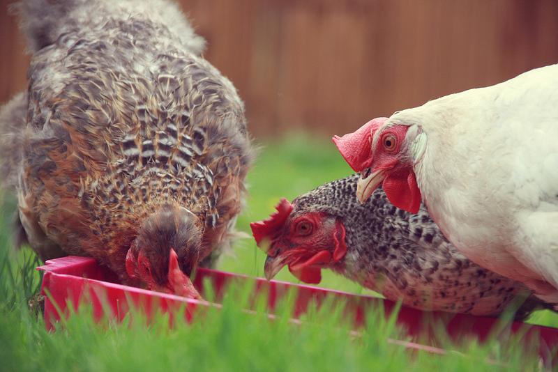 Ci sono polli e maiali a Westminster, in una fattoria nascosta