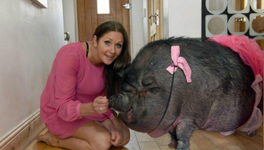 Meglio due maiali del marito, donna convive con due animali da 150 chili