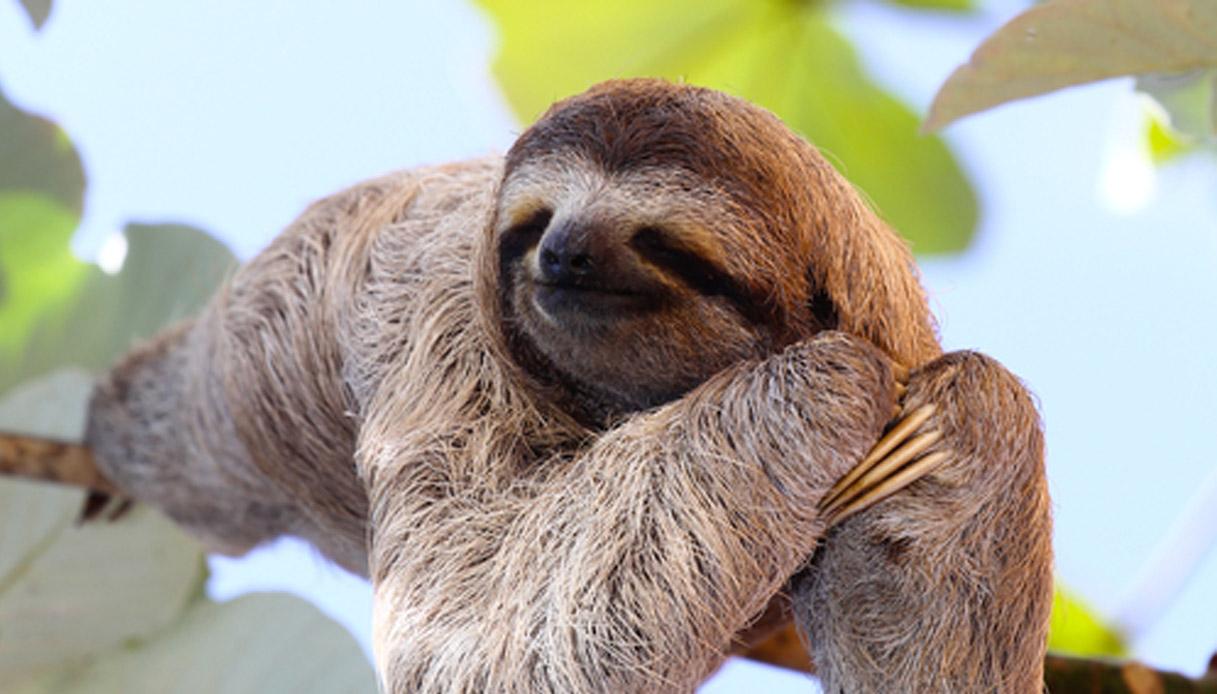 foto bradipo