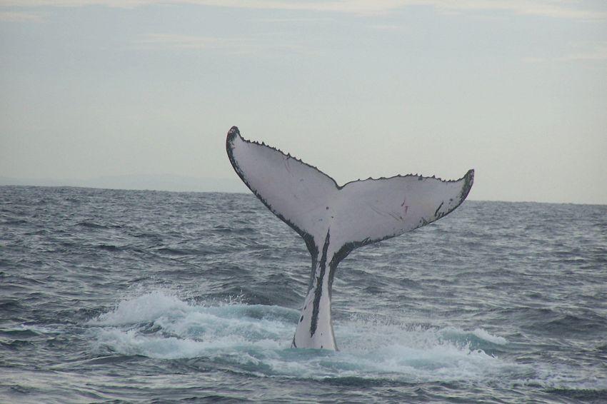 Ricompare Migaloo, la balena albina che ha fatto impazzire la rete
