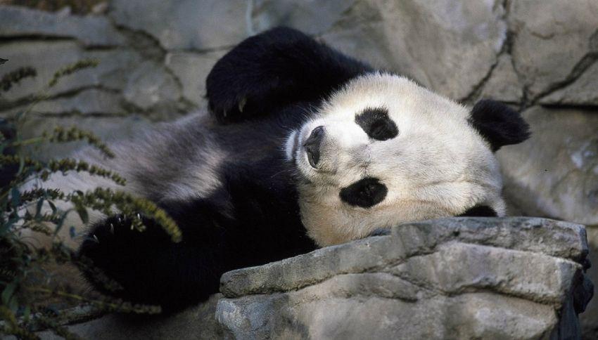 Buone notizie: il panda non è più a rischio estinzione