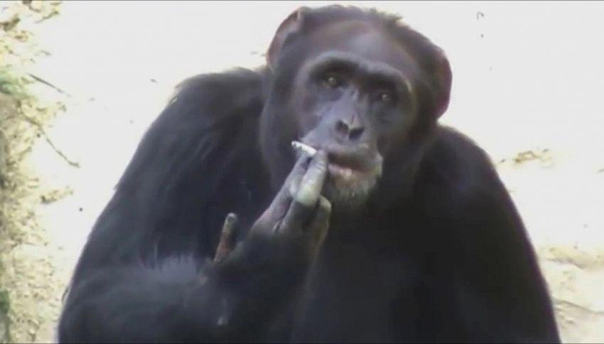 Azalea, la scimpanzé che fuma è l'idolo dello zoo
