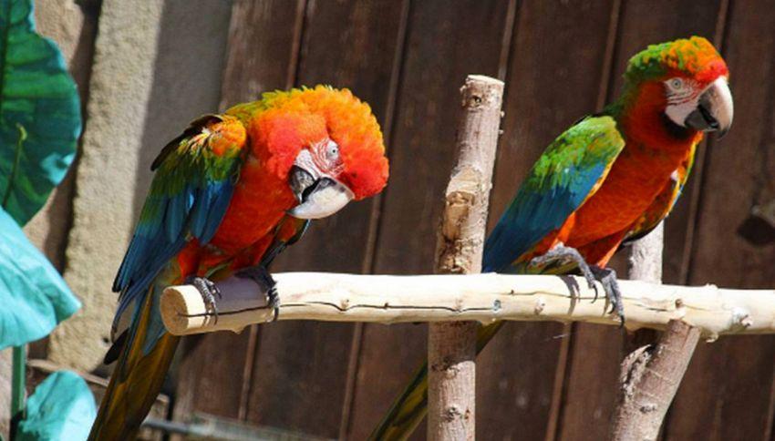 Tradisce la moglie con la cameriera: il pappagallo lo smaschera