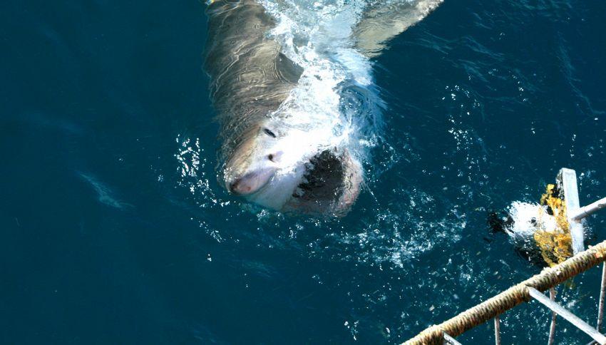 Terrore in acqua: squalo entra nella gabbia di un turista