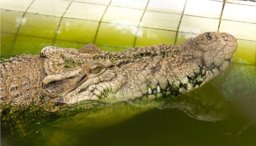 Escono di casa e trovano un alligatore sullo zerbino