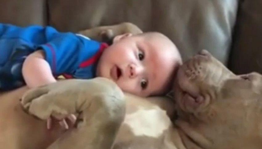 Il miglior baby sitter è il cane bulldog. Questo video lo conferma
