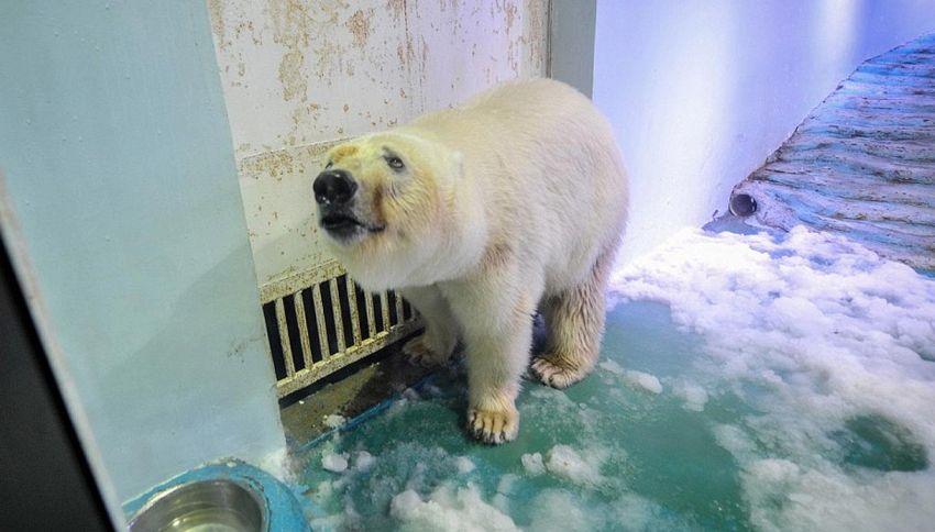Liberato Pizza, l'orso polare più triste al mondo