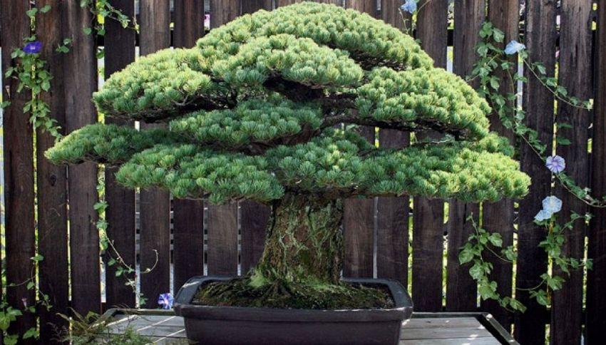 Questo bonsai ha 391 anni ed è sopravvissuto a Hiroshima