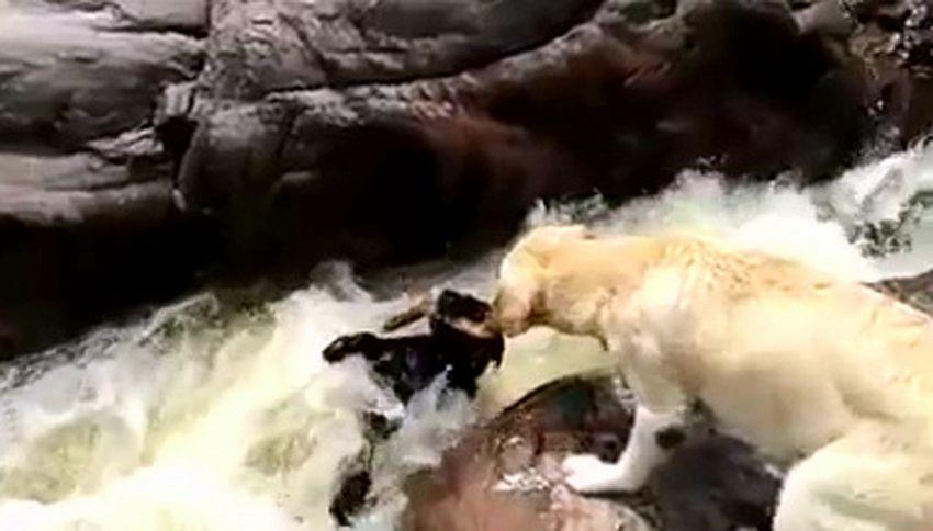 Genio d'un cane: salva l'amico con un bastone