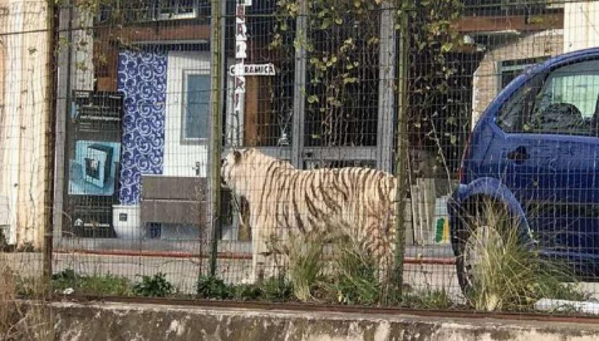 Palermo, tigre bianca fugge dal circo