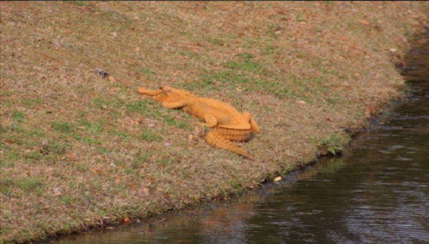 Avvistato un alligatore di color arancione