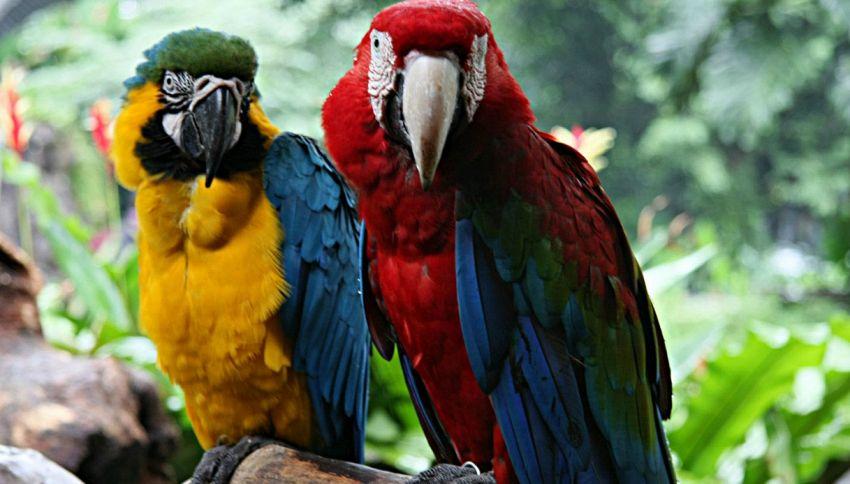 Per i pappagalli ara ambigua è sempre San Valentino