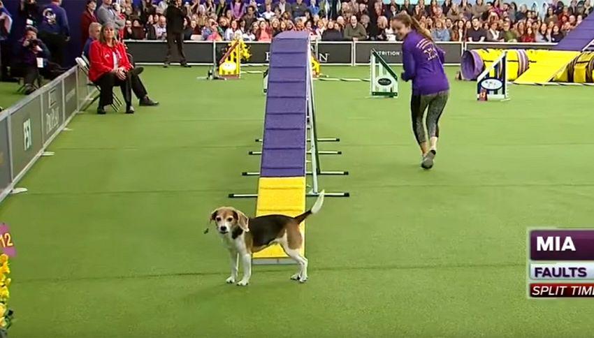 Mia, il beagle distratto: flop in gara, trionfo di pubblico