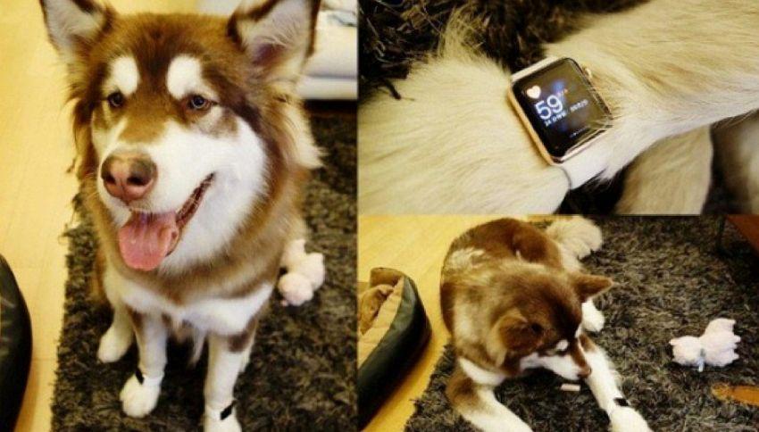 Ecco il cane che indossa l'Apple Watch