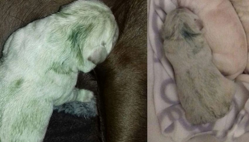 Nato un cucciolo di Labrador verde