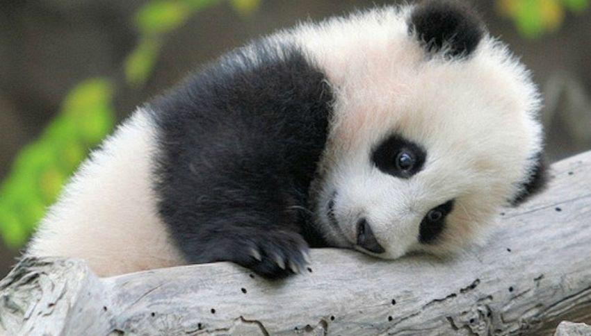 Ecco perché il panda è bicolore