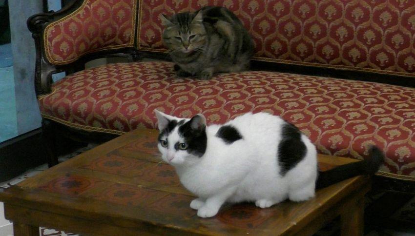 A Palermo 'Nero Miciok', il bar dove i gatti accolgono i clienti