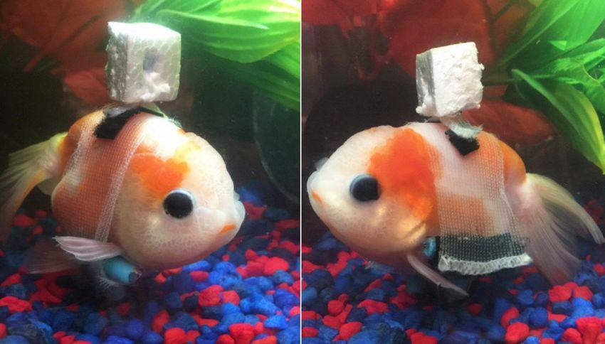 Il pesce rosso con la sedia a rotelle. La foto è subito virale