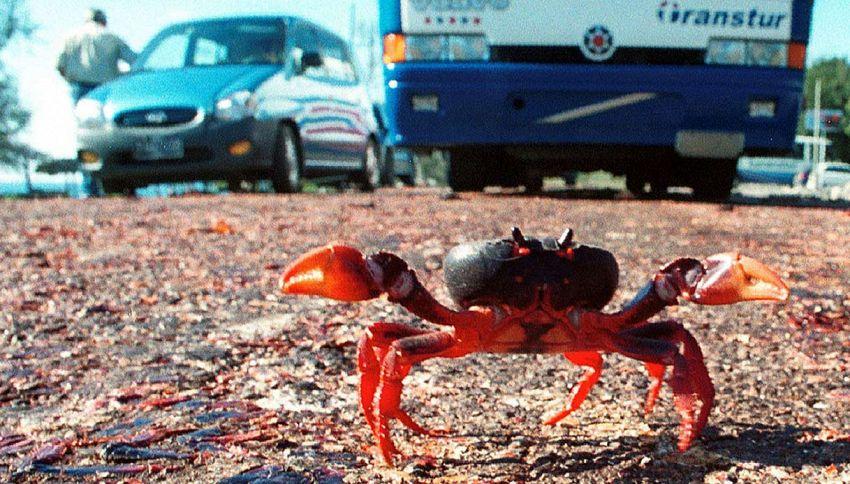 La Baia dei Porci invasa dai granchi: automobilisti in crisi