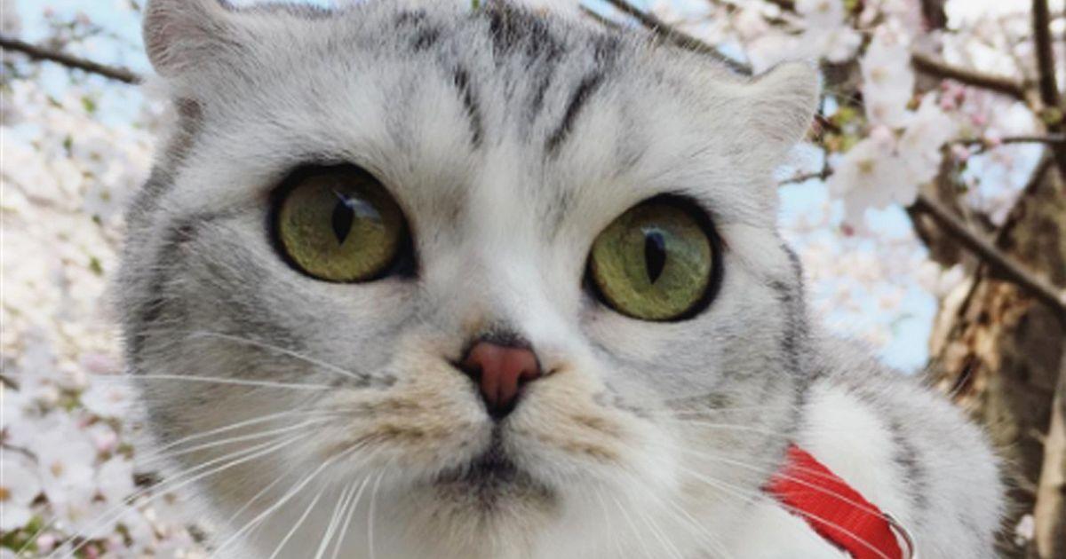 Hana il gatto dagli occhi grandi e 250mila followers for Gatti con occhi diversi
