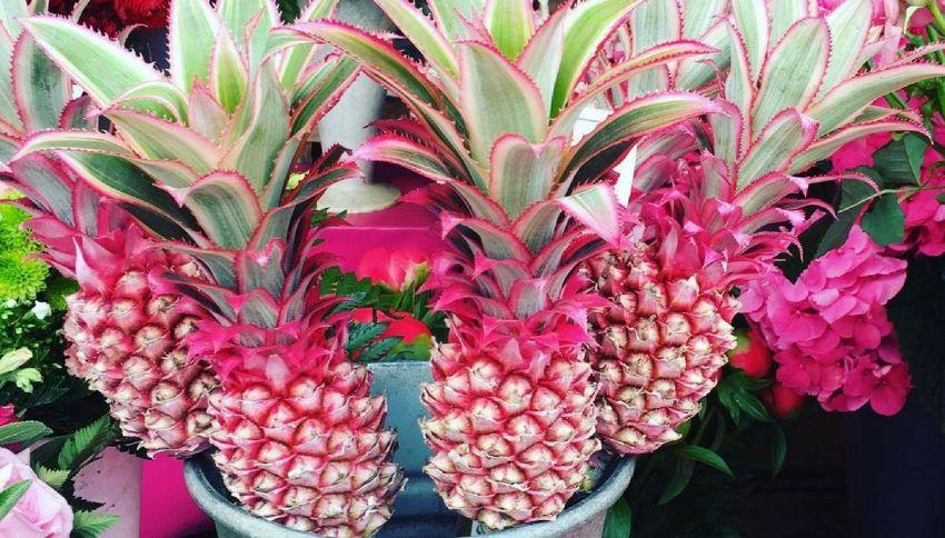 Il nuovo trend dell'estate è l'ananas rosa