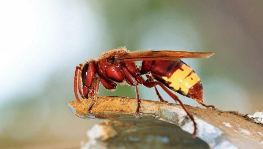 Pericolo insetti: arrivano le vespe aliene dall'Oriente