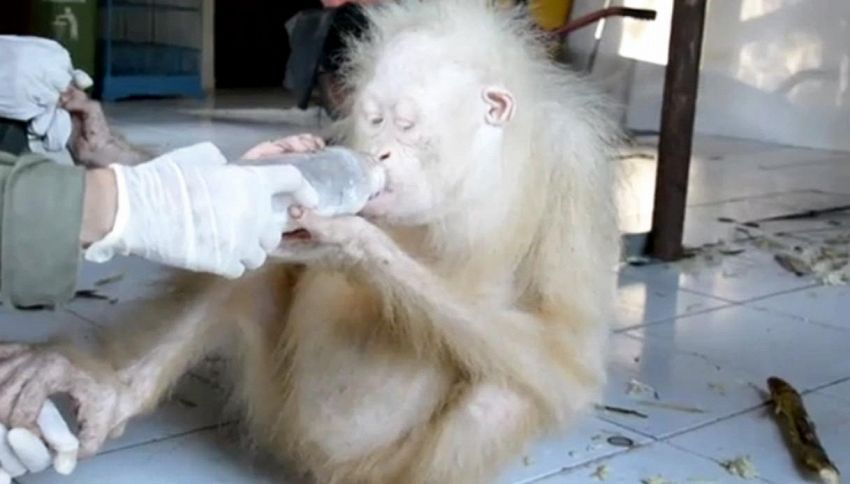 Il tenerissimo orango albino ha un nome: per il web è 'Alba'