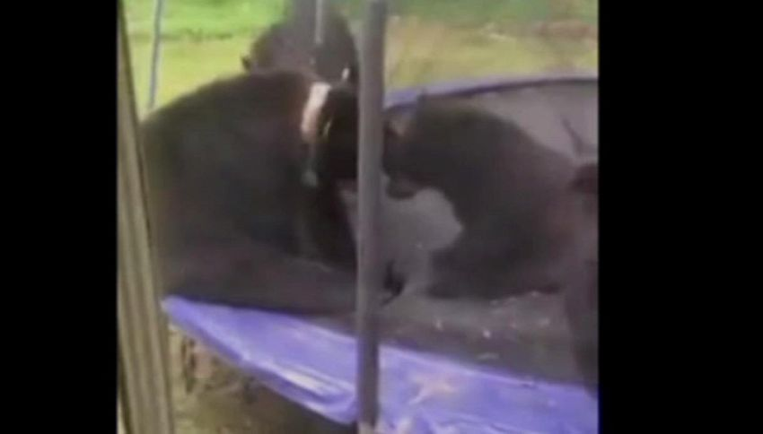 Il gioco degli orsi in giardino spopola sui social