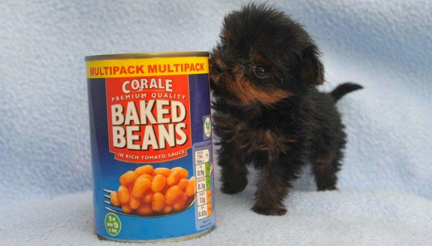 Tiny Tim: il cane così piccolo che sta in una scatola di fagioli